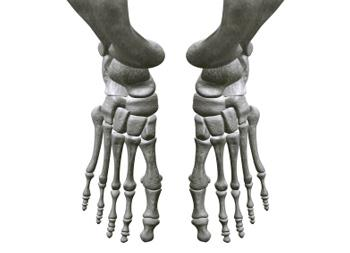Bones in our feet